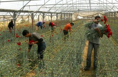 Gaza's embargoed roses. From the Palstreet blog:http://palstreet.blogspot.com/2009/12/blog-post_19.html